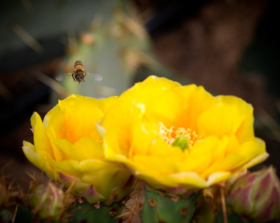 Bee Investigates a Prickly Pear Bloom