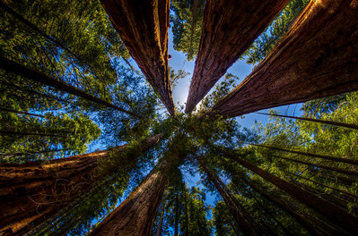 Straight Up Giant Sequoias